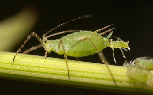 Aphid (Small) (Custom)