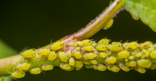 Aphids group (Small) (Custom)